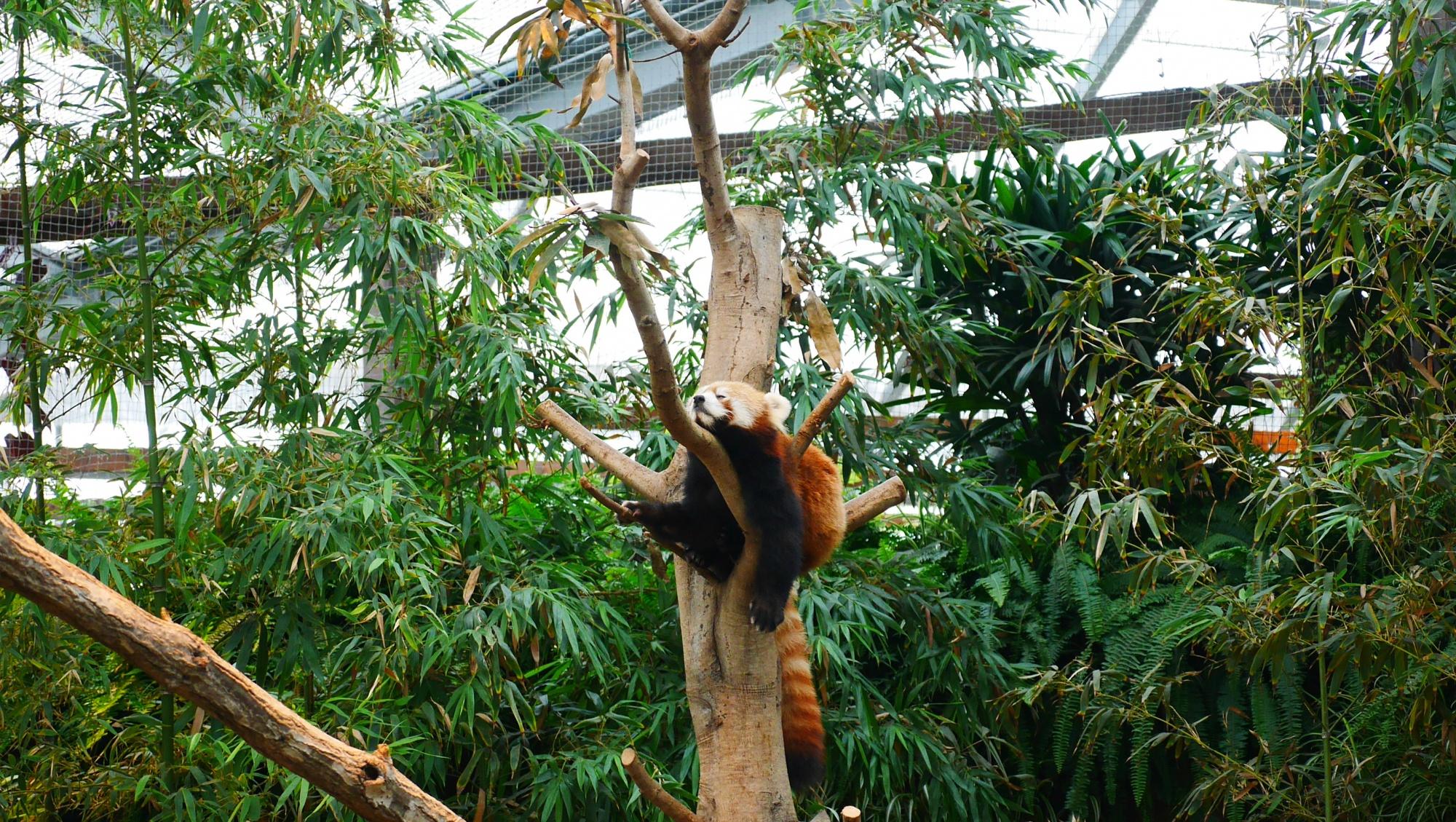 木の上でぐっすりのレッサーパンダ