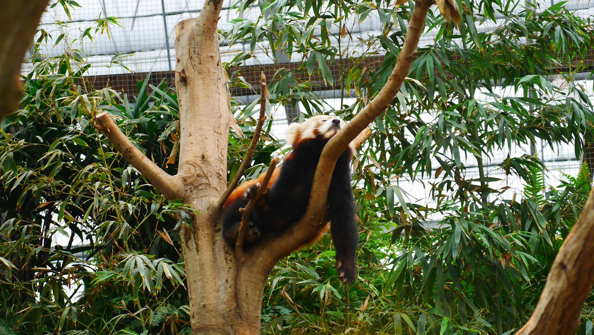 木の上で寝るレッサーパンダ