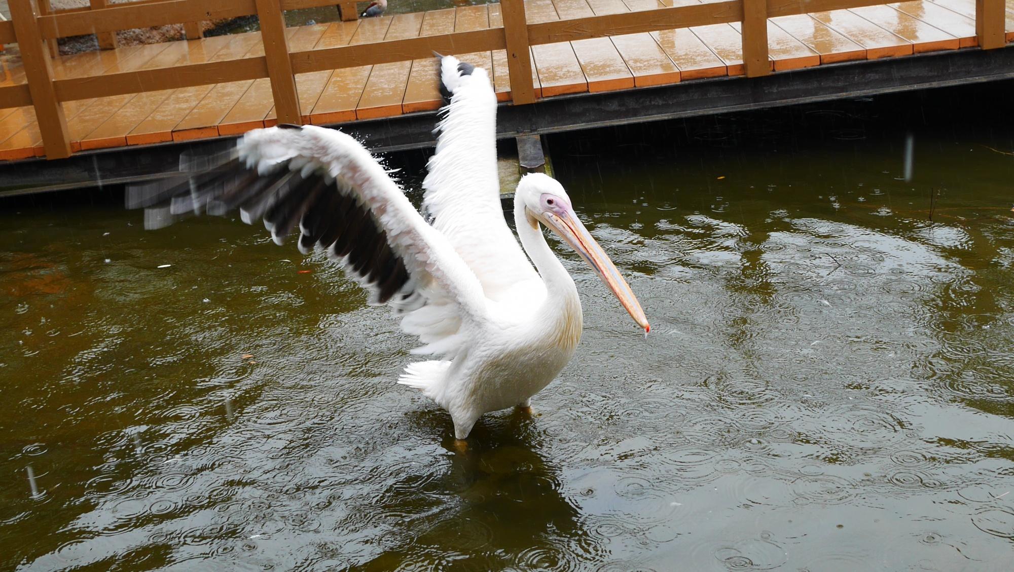モモイロペリカン(White Pelican)