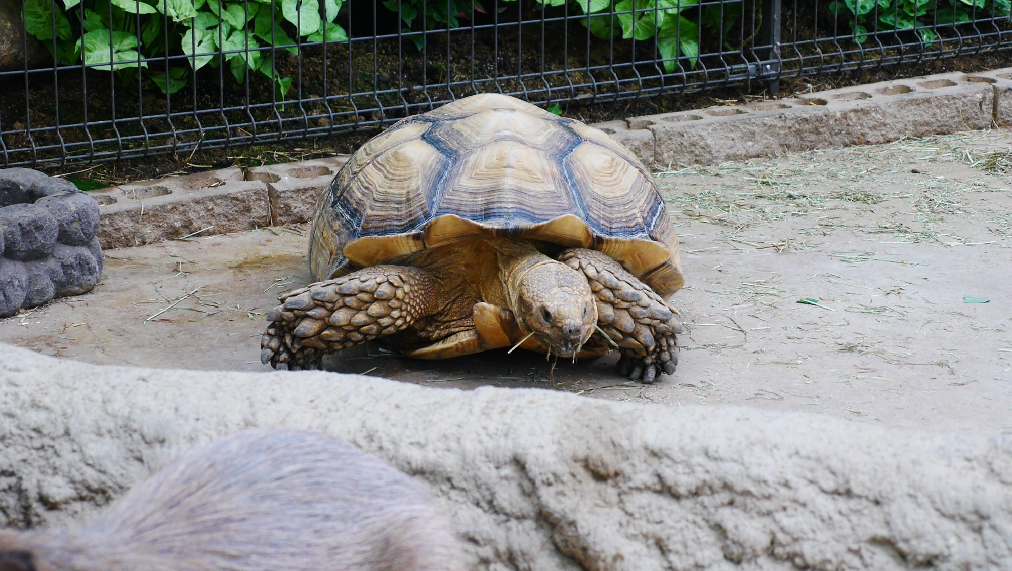 ケヅメリクガメ(African spurred tortoise)