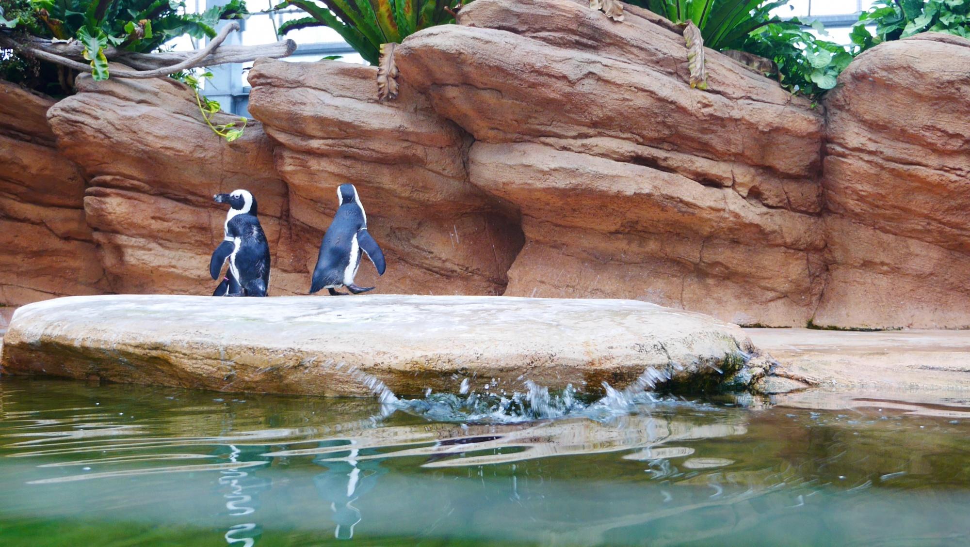飛び込んだペンギン