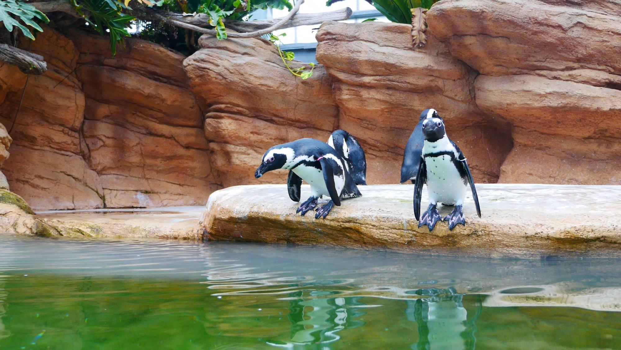 飛び込みそうなペンギン
