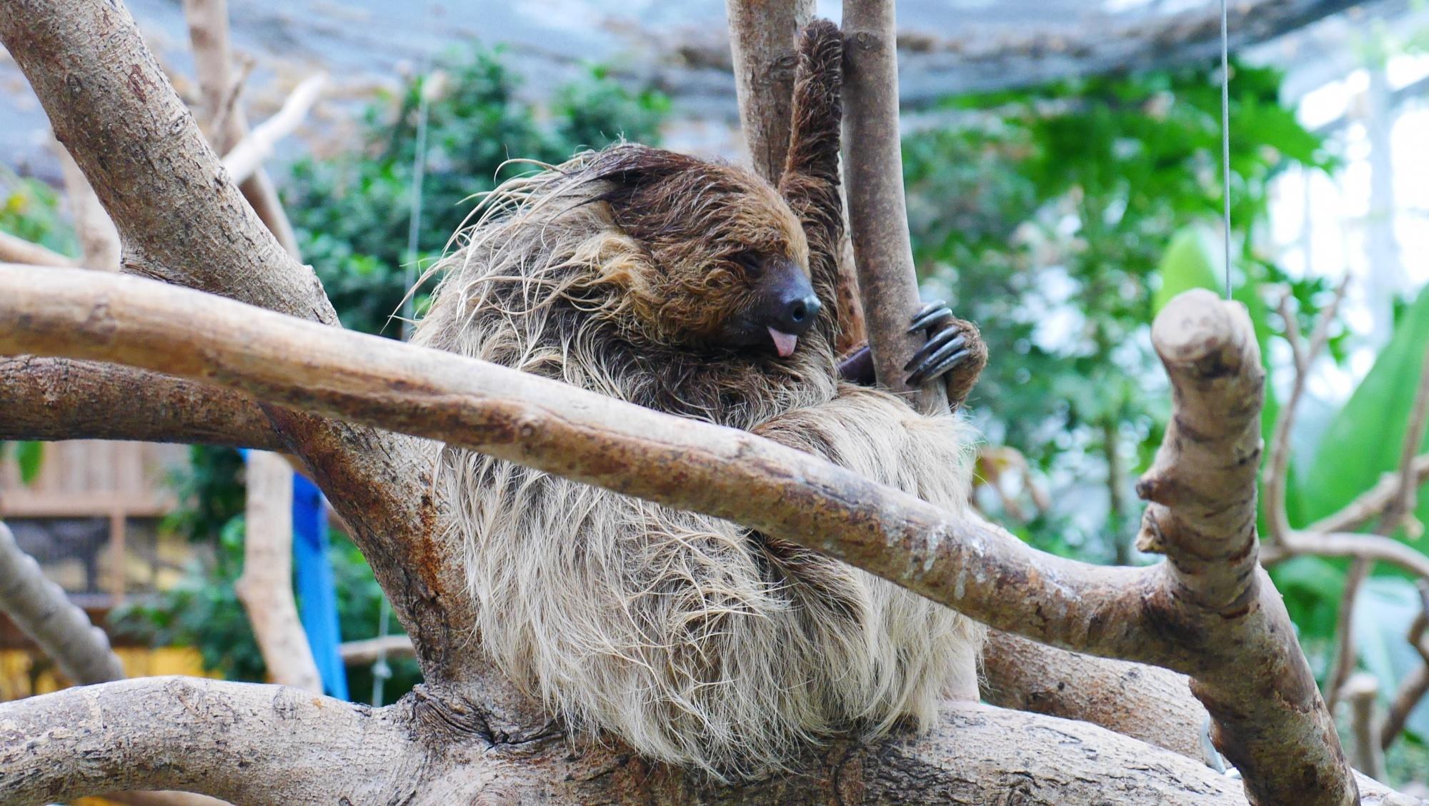 フタユビナマケモノ(Two-toed Sloth)