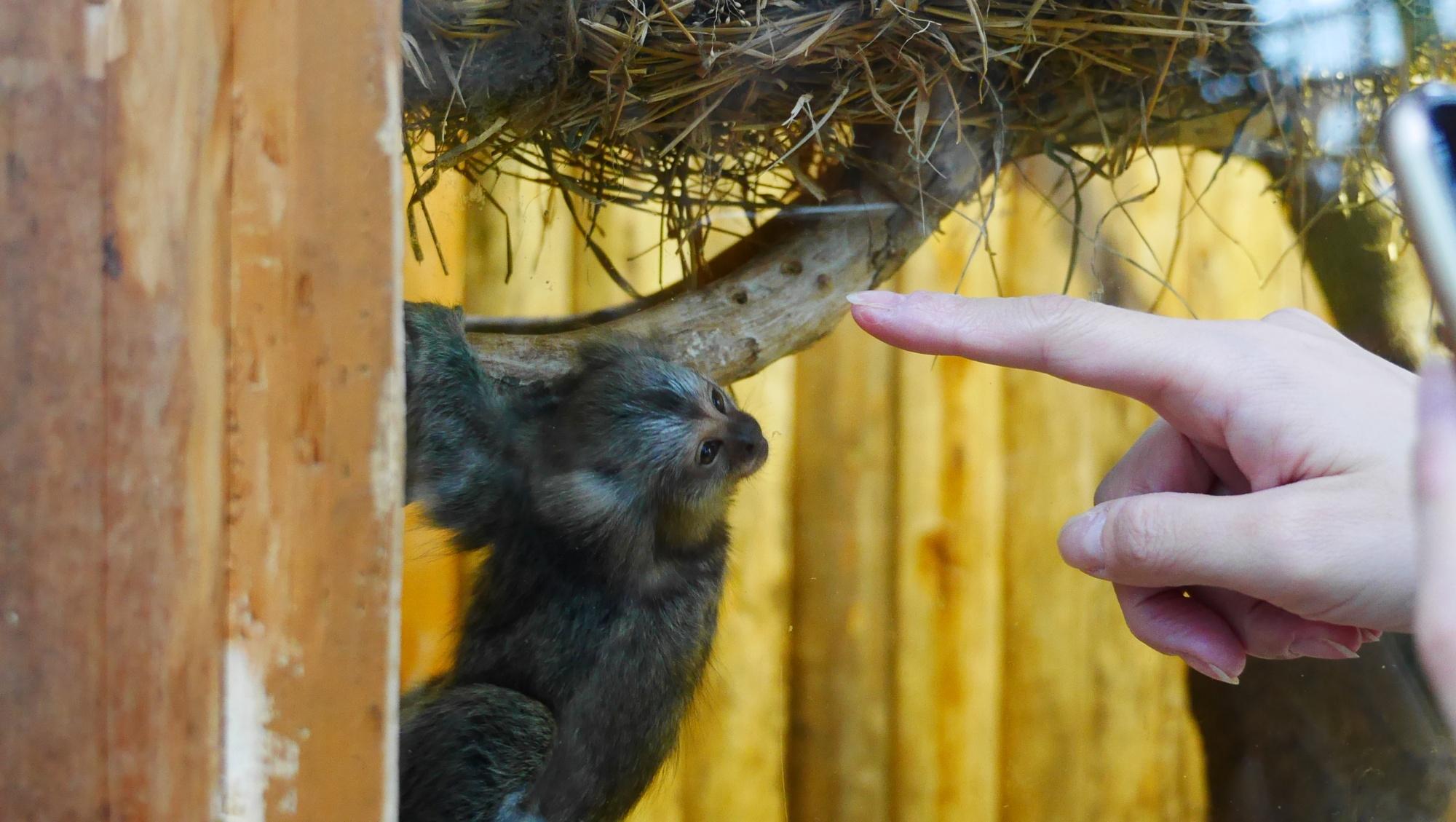 コモンマーモセットの赤ちゃん指を見てる