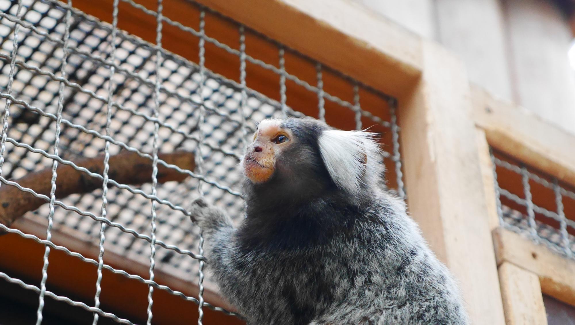 コモンマーモセット(Common marmoset)