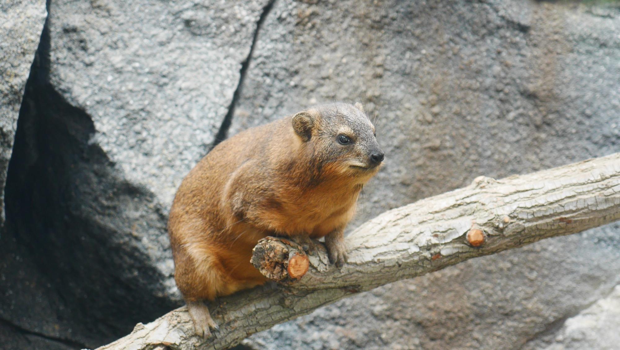 ケープハイラックス(Rock hyrax)