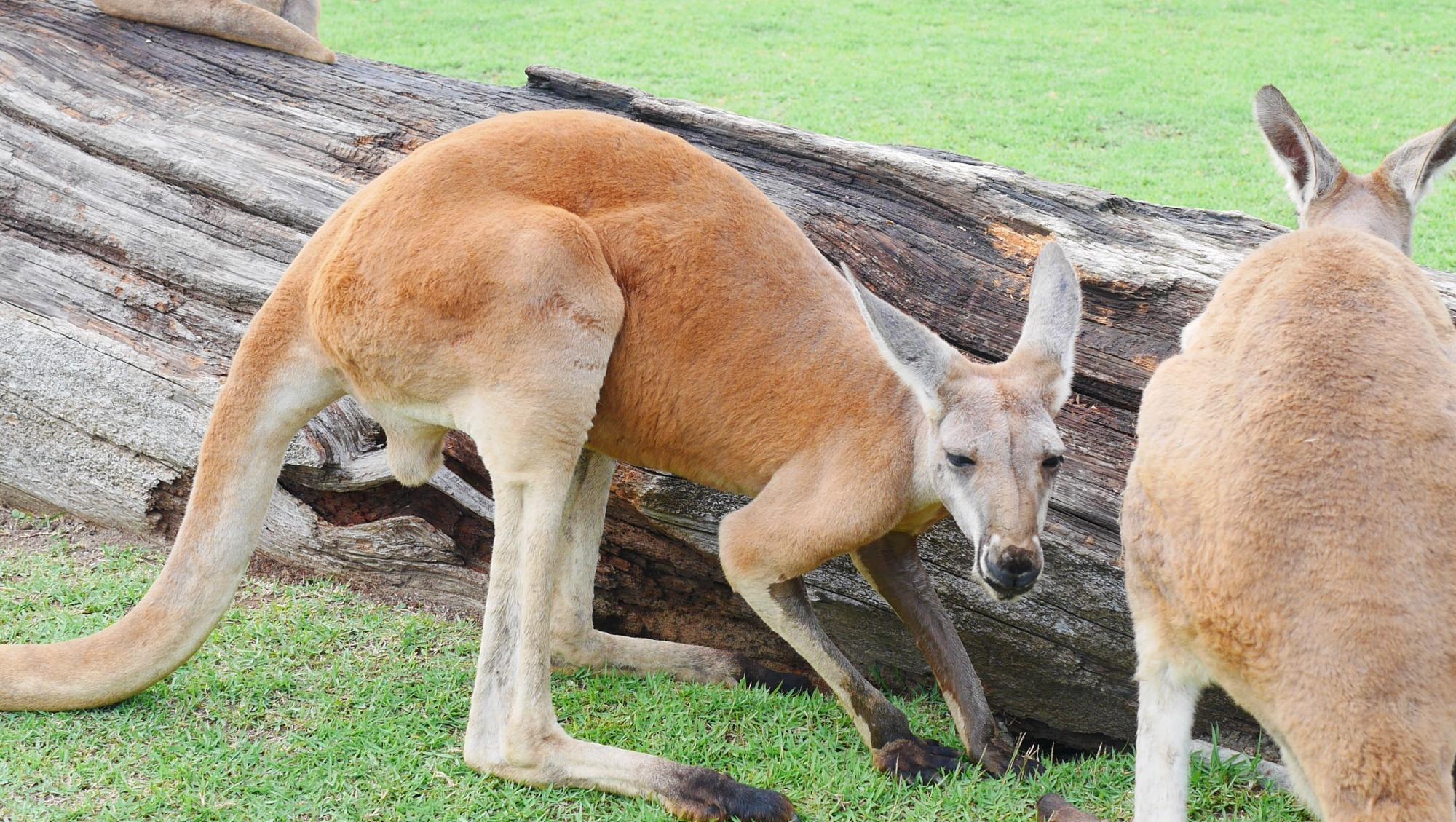 アカカンガルー(Red kangaroo)
