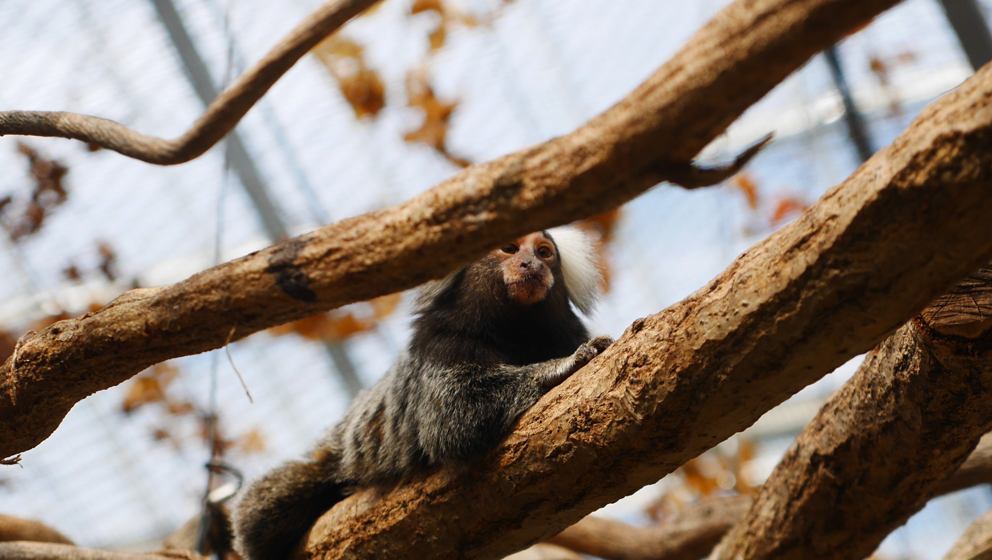 木の上で休むコモンマーモセット