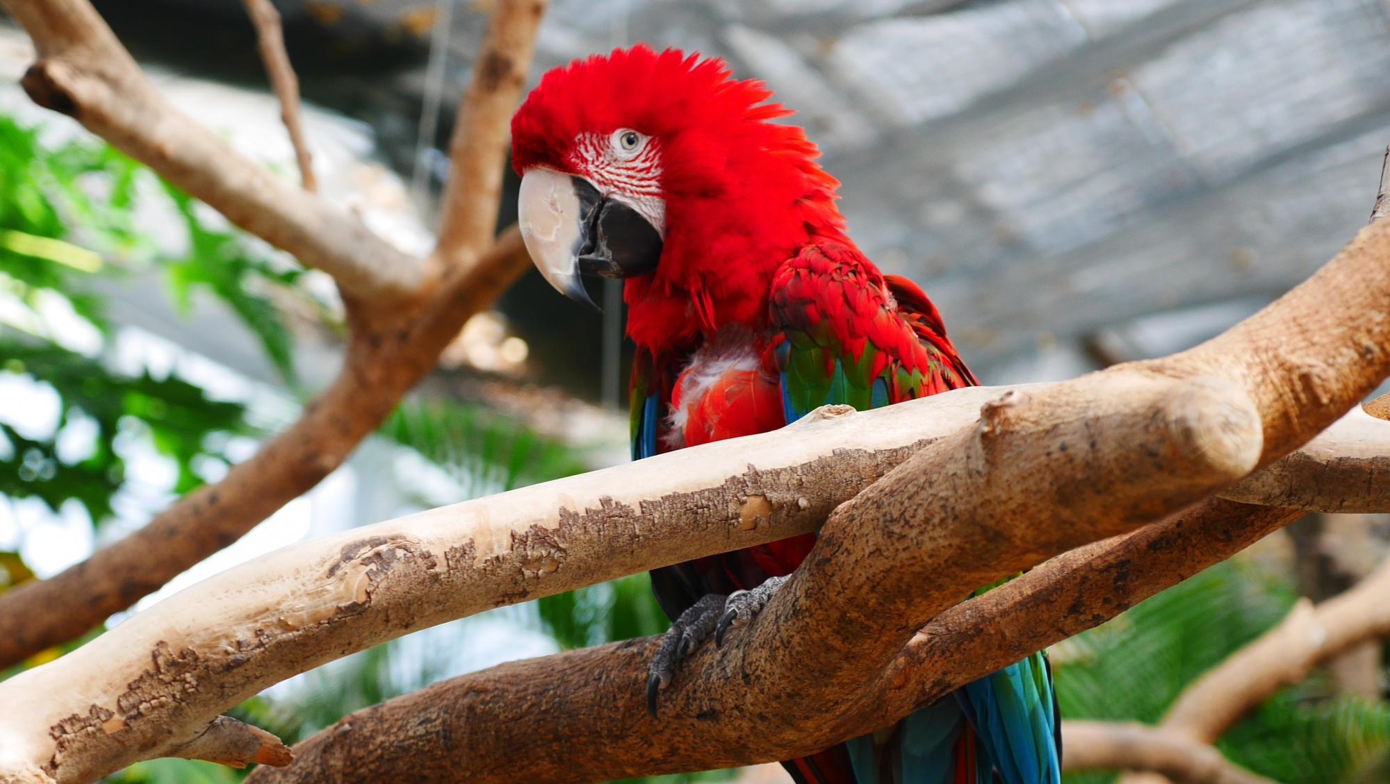 ベニコンゴウインコ(Green-Winged Macaw)