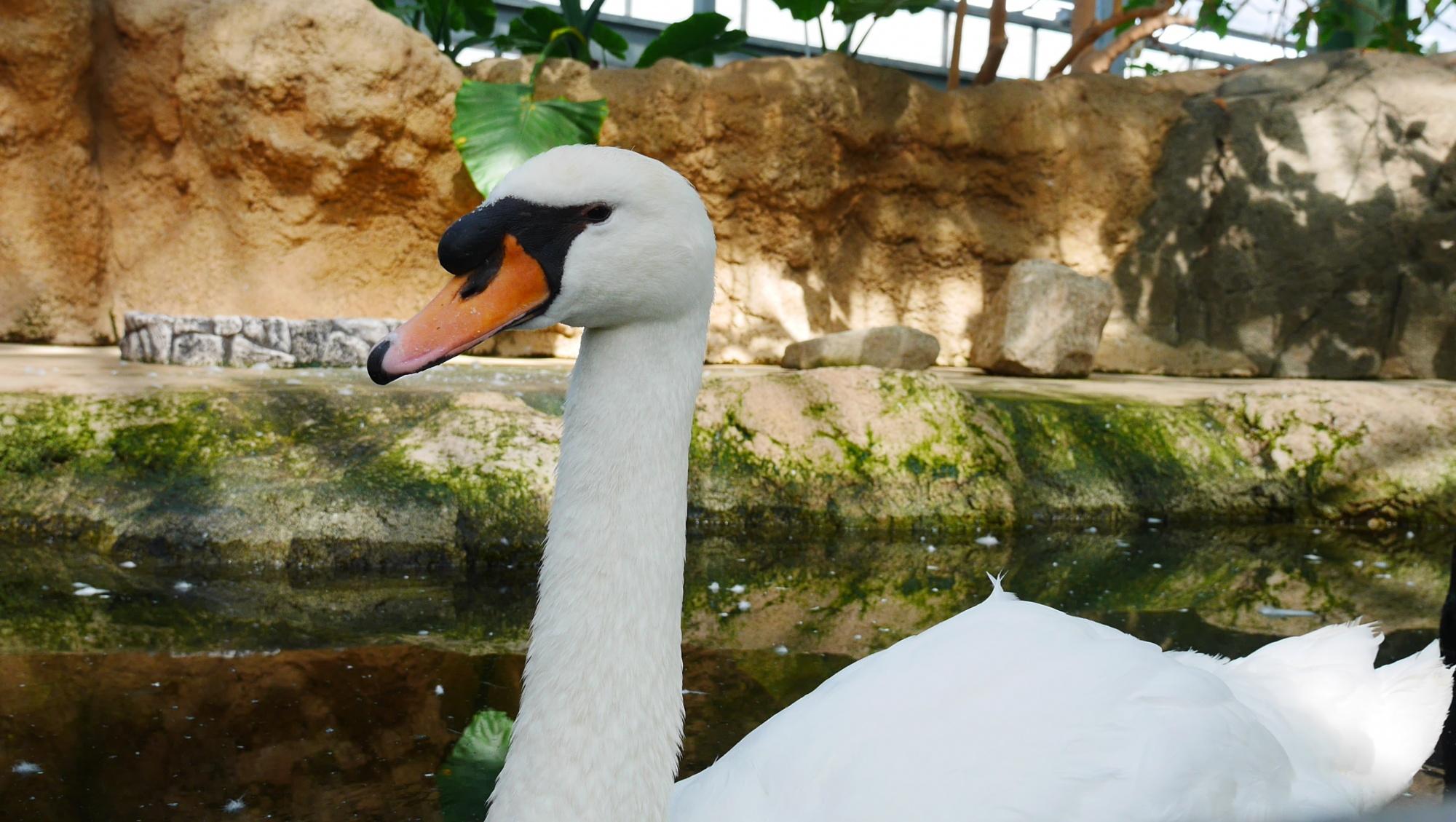 コブハクチョウ(Mute Swan)