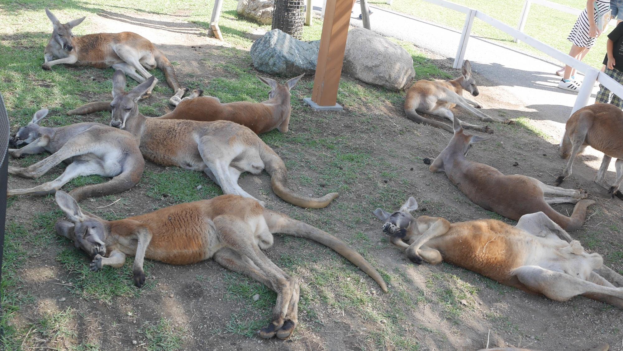 暑くてぐったりカンガルー達