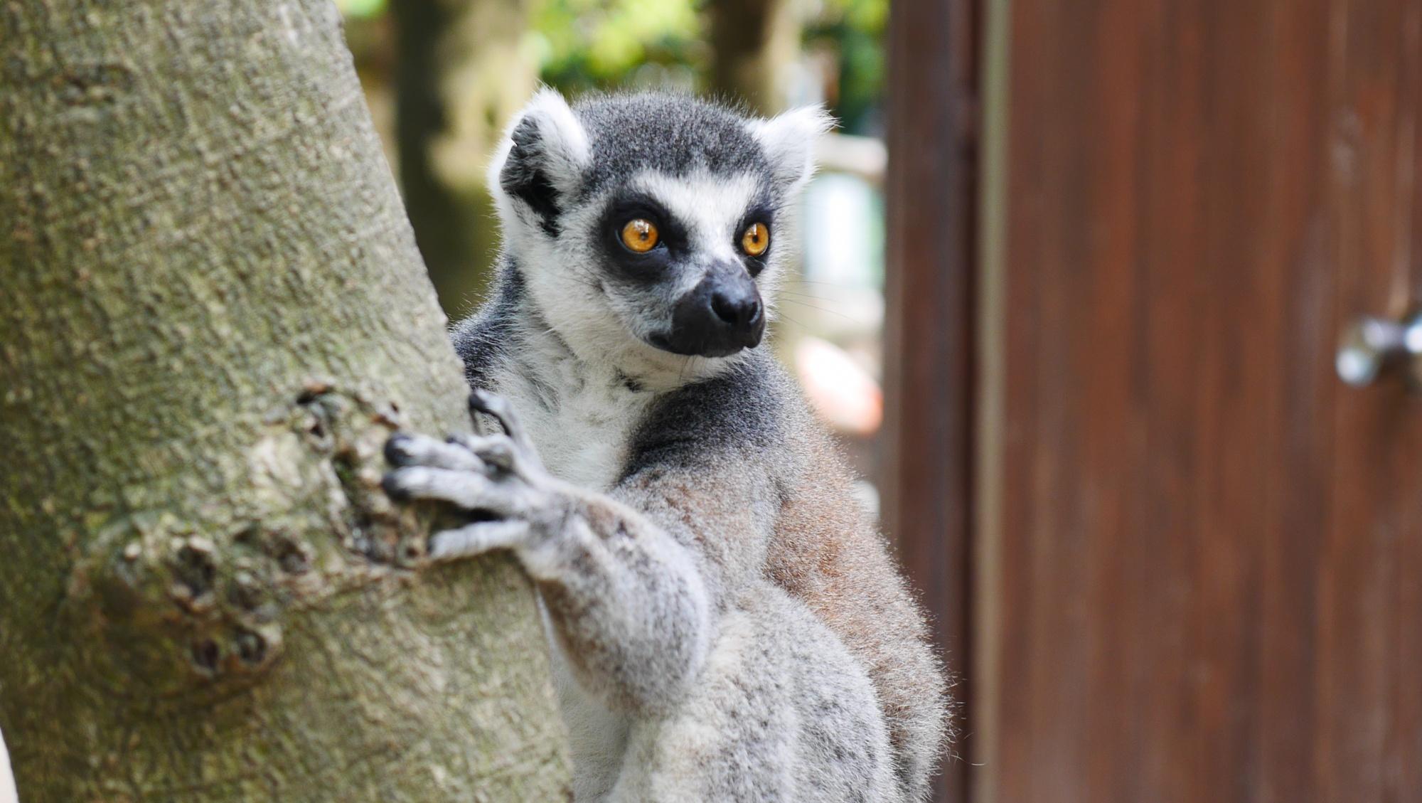 ワオキツネザル(Ring-tailed lemur)