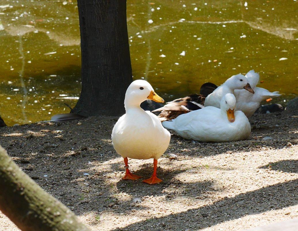 コールダック(Call Duck)