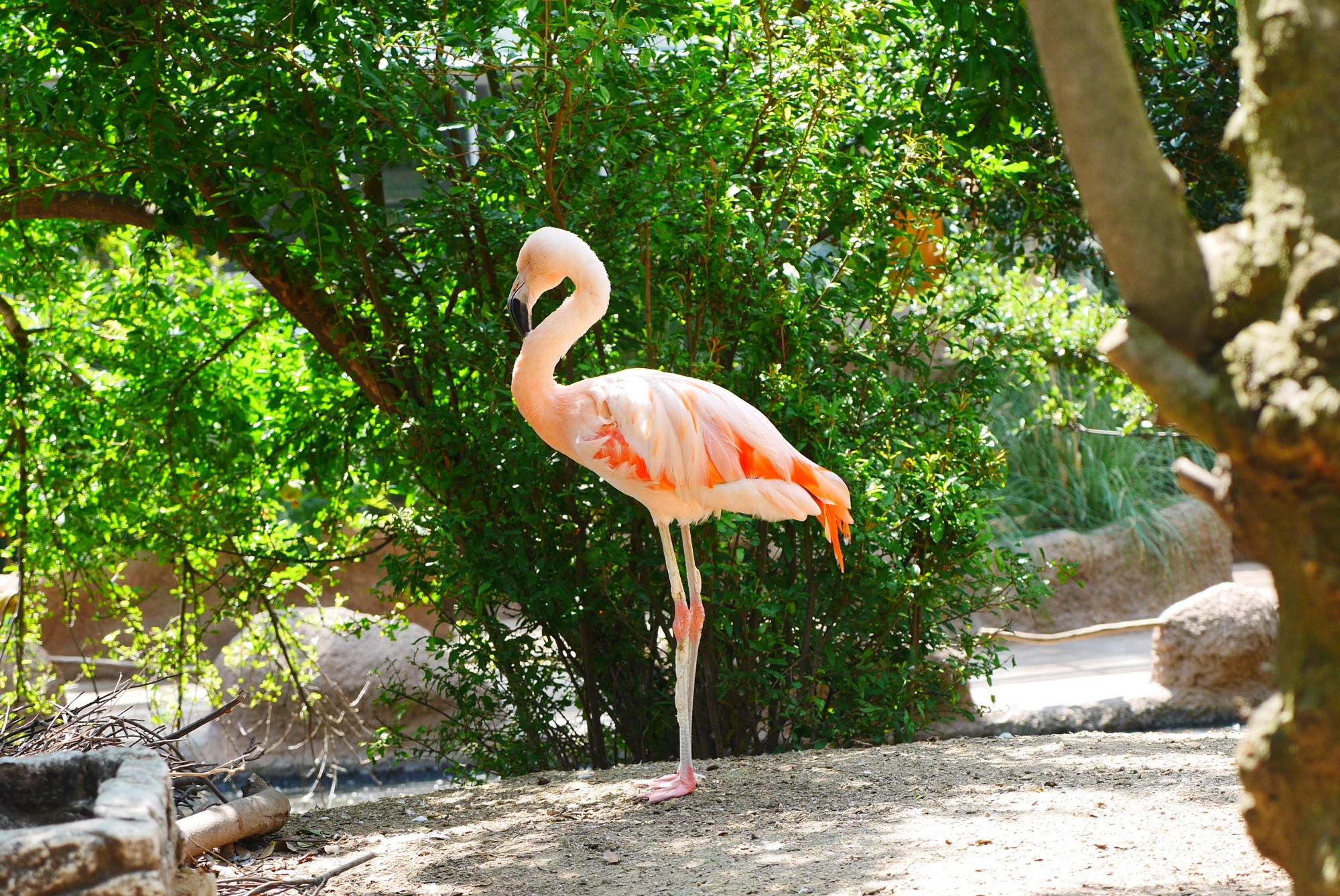 チリーフラミンゴ(Chilean flamingo)