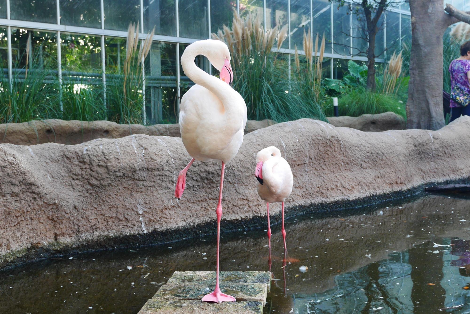 ヨーロッパフラミンゴ(Greater Flamingo)