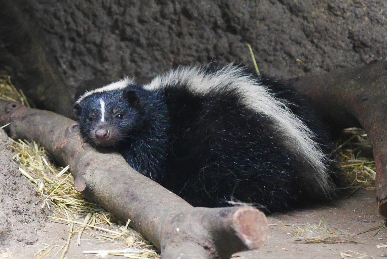 シマスカンク(Striped skunk)