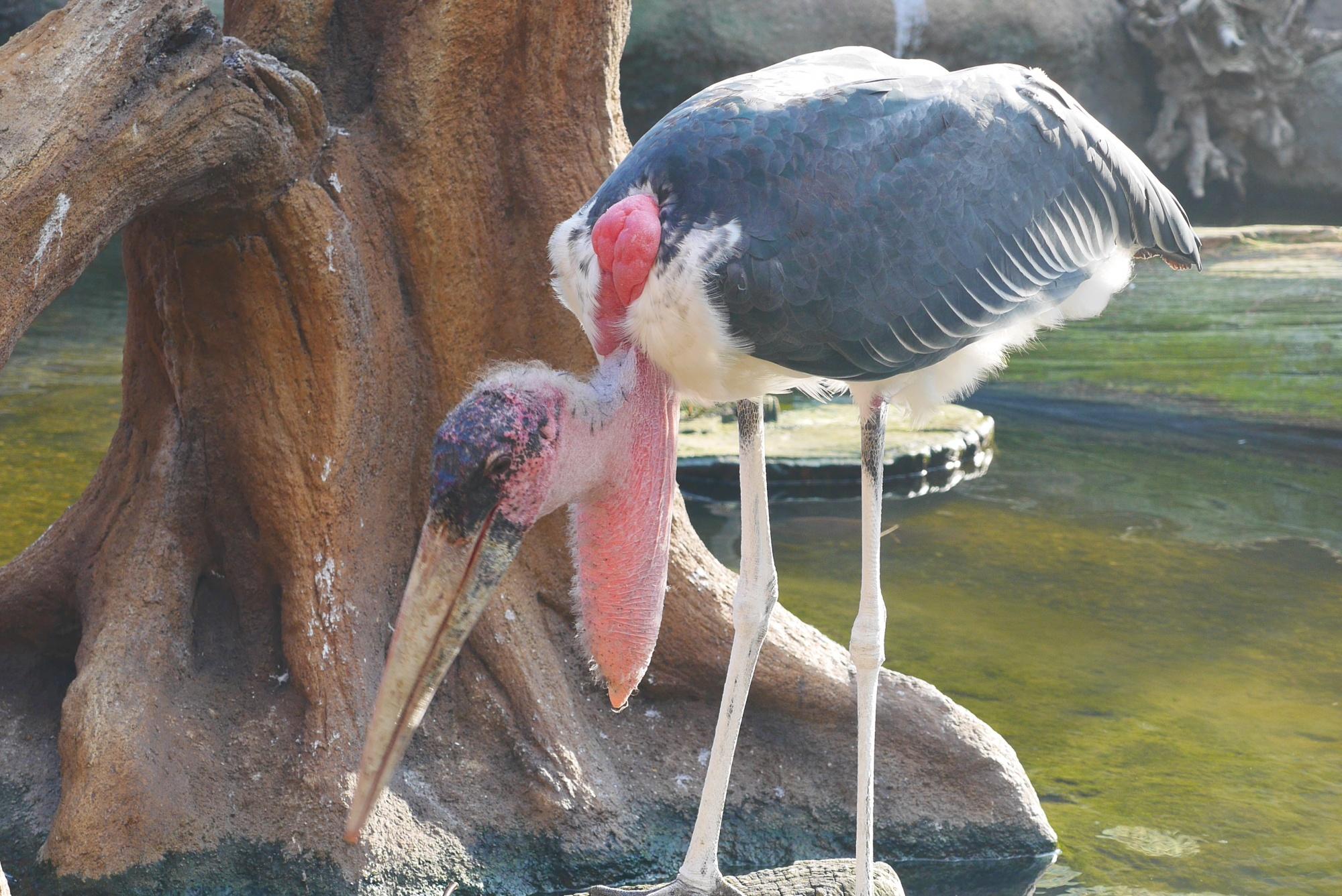 アフリカハゲコウ(Marabou Stork)