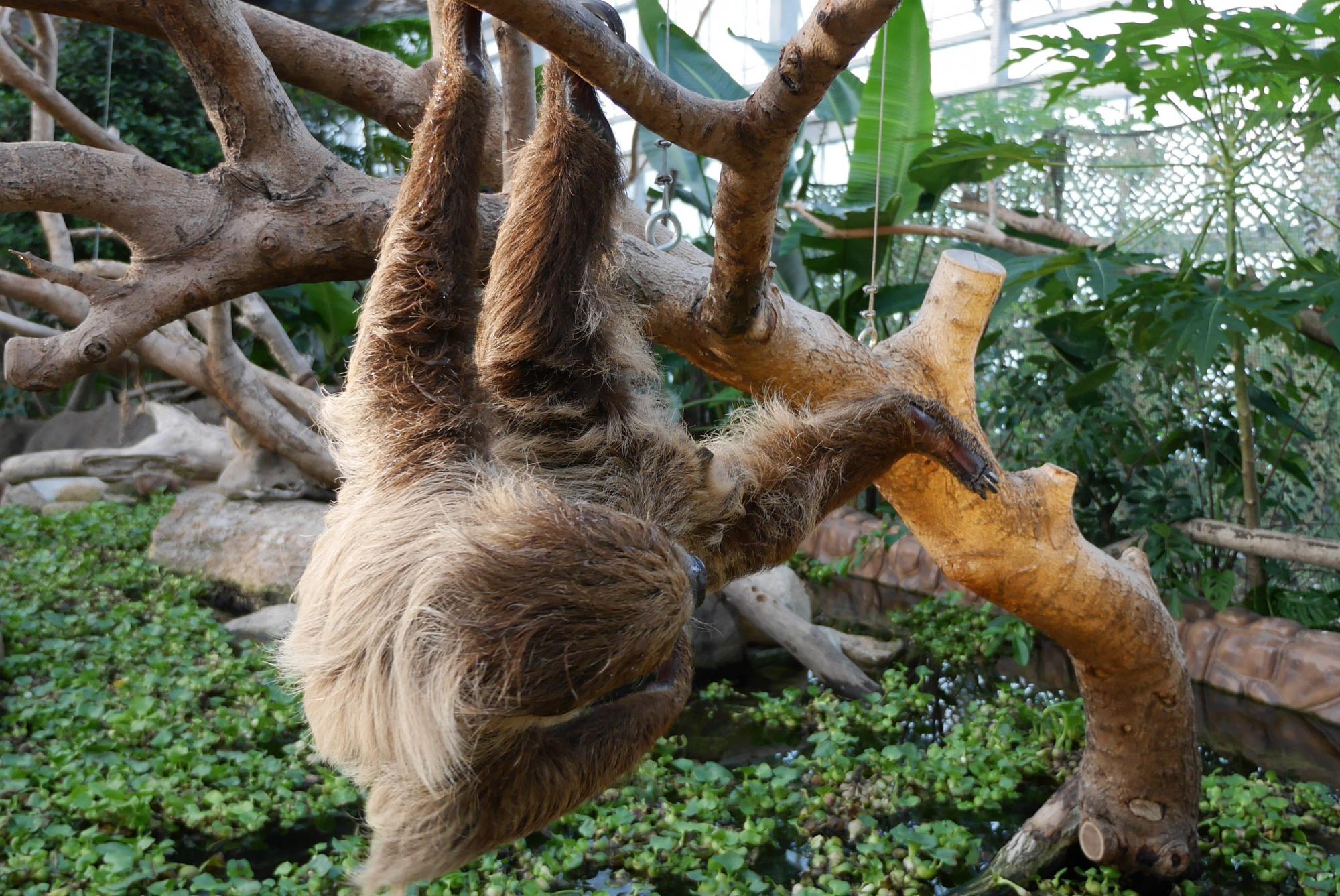 左手と左足で器用にぶら下がるナマケモノ
