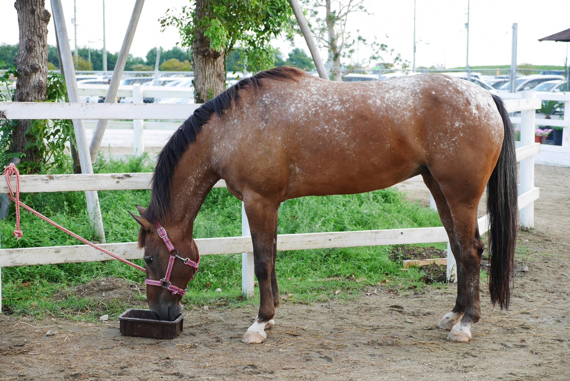 ウマ(Horse)