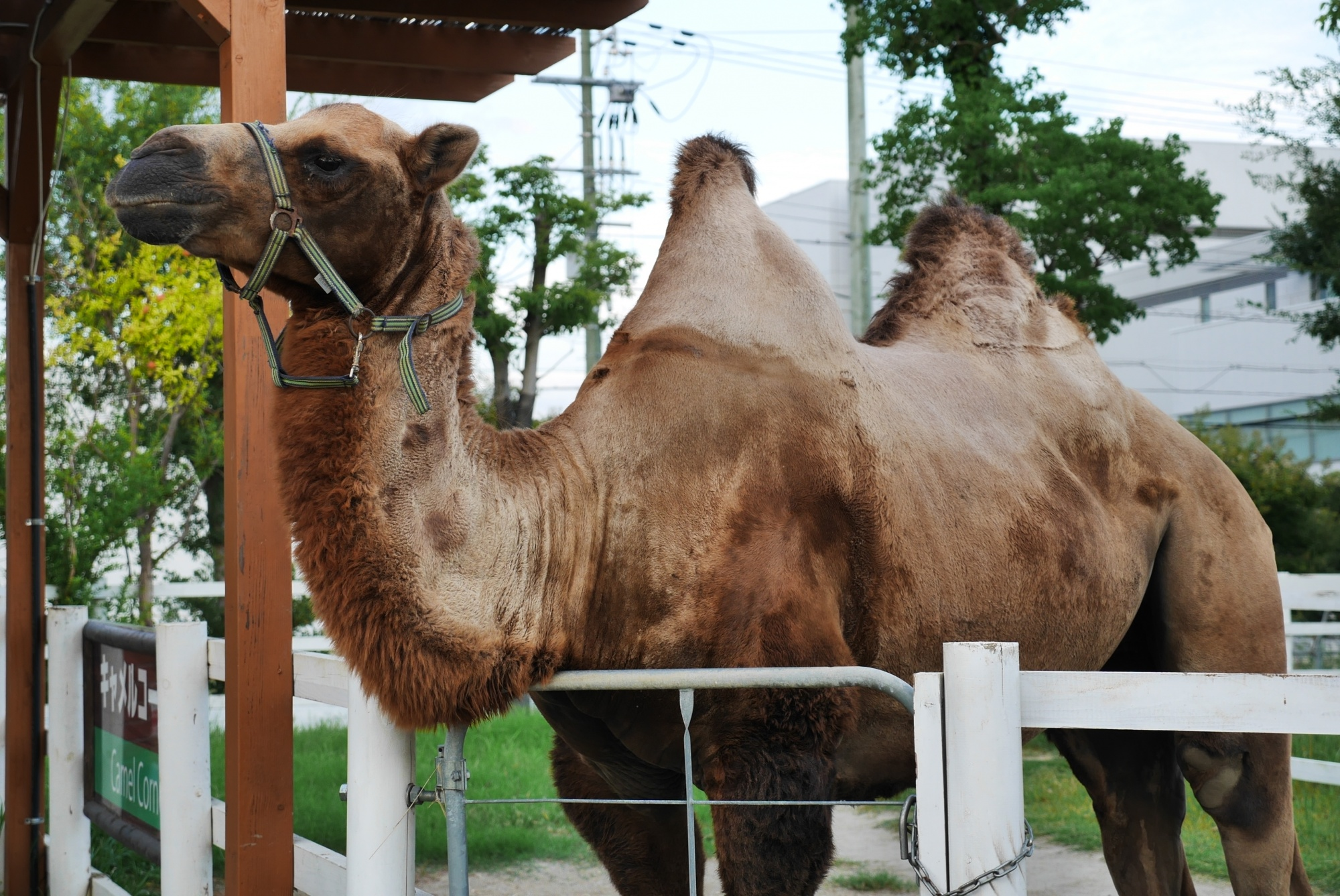 フタコブラクダ(Bactrian camel)