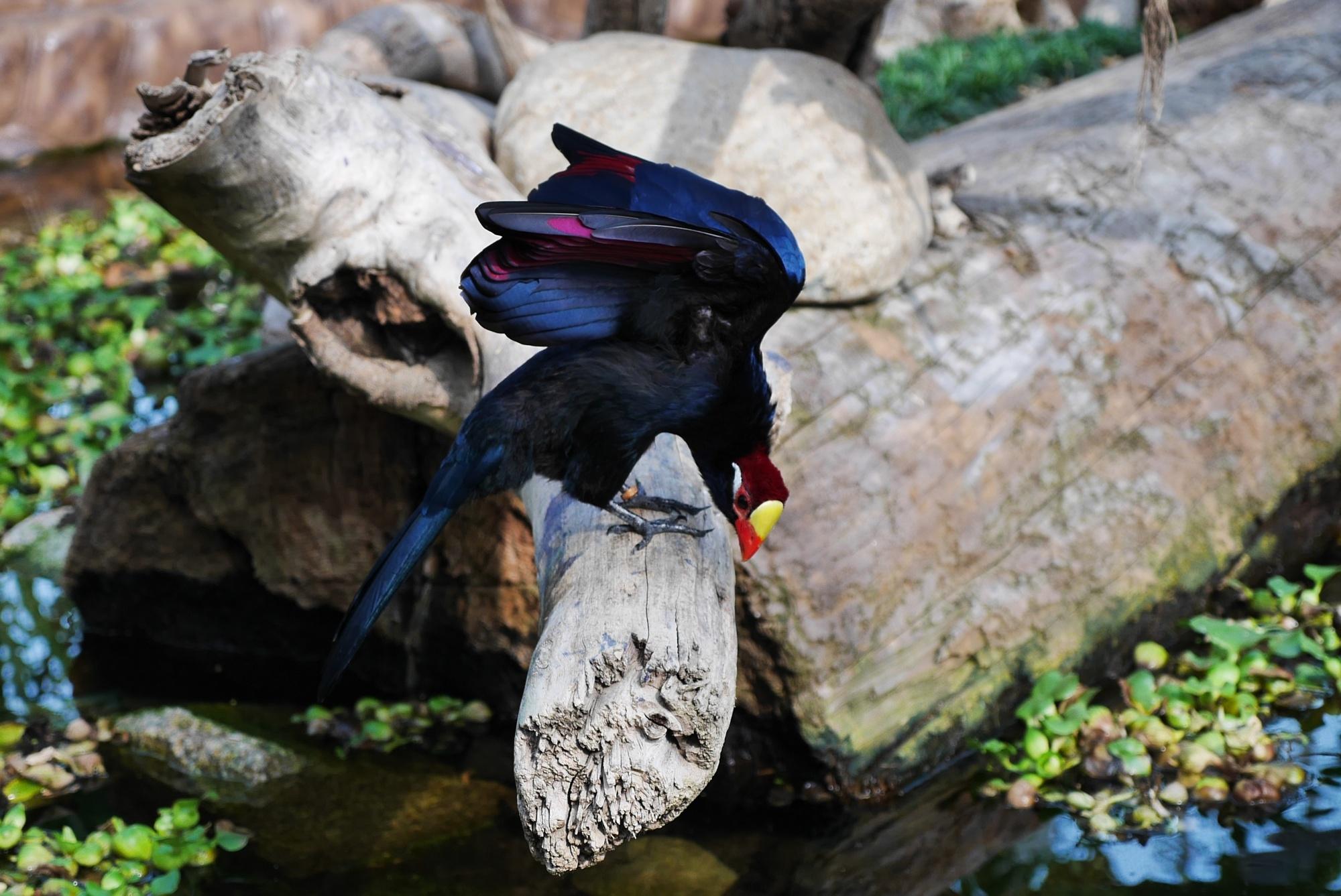 ニシムラサキエボシ綺麗な羽