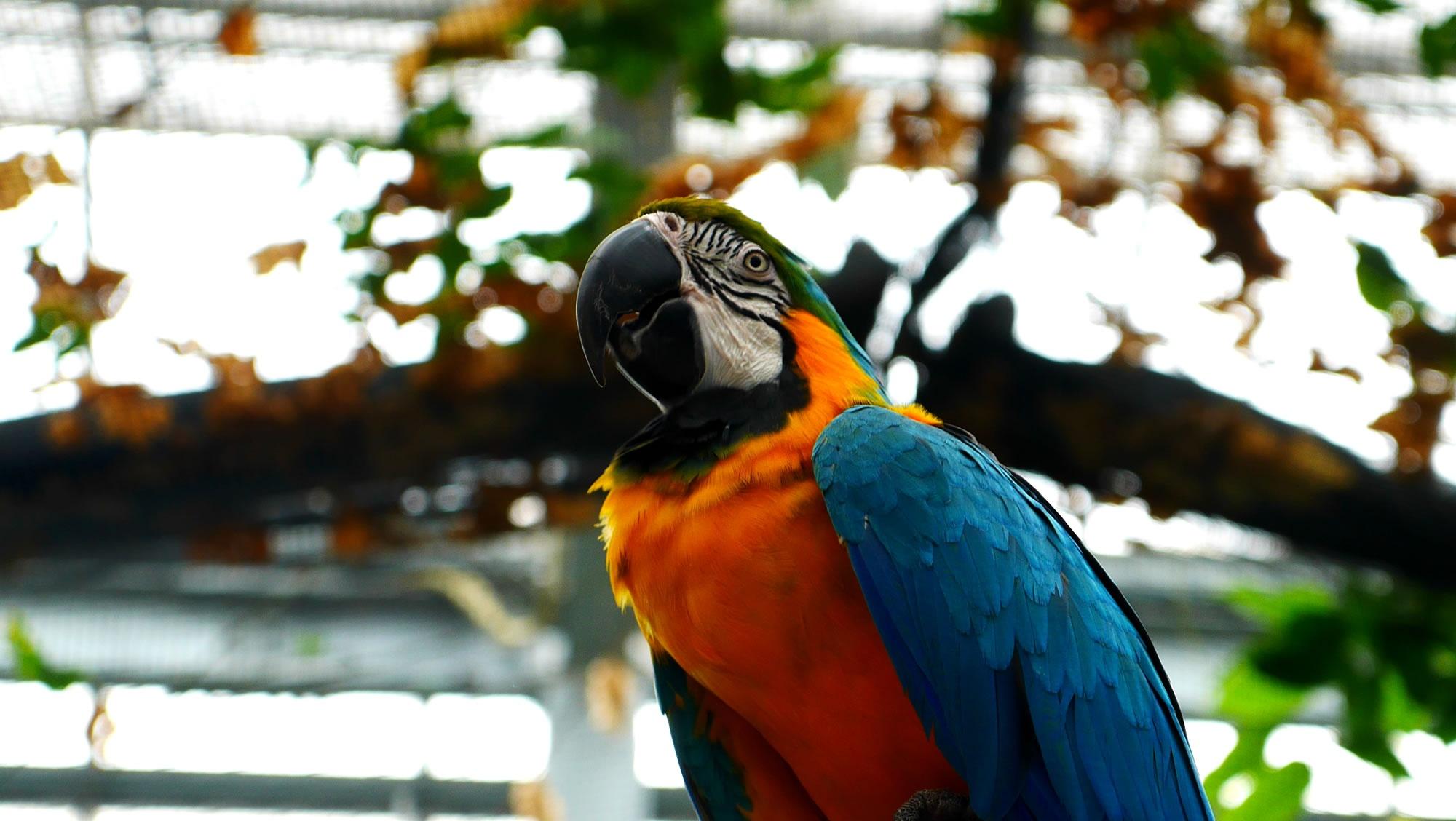 ルリコンゴウインコ(Blue-and-yellow Macaw)