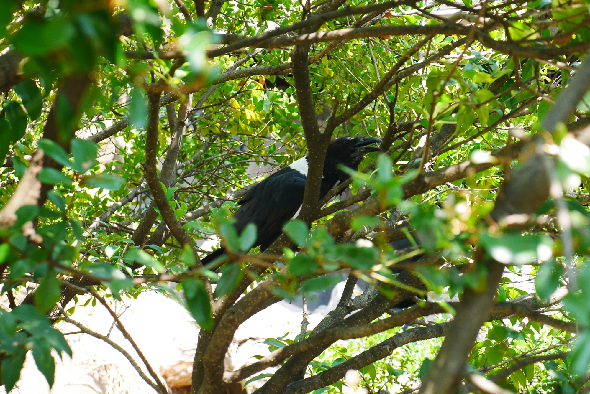 ムナジロガラス(Pied Crow)
