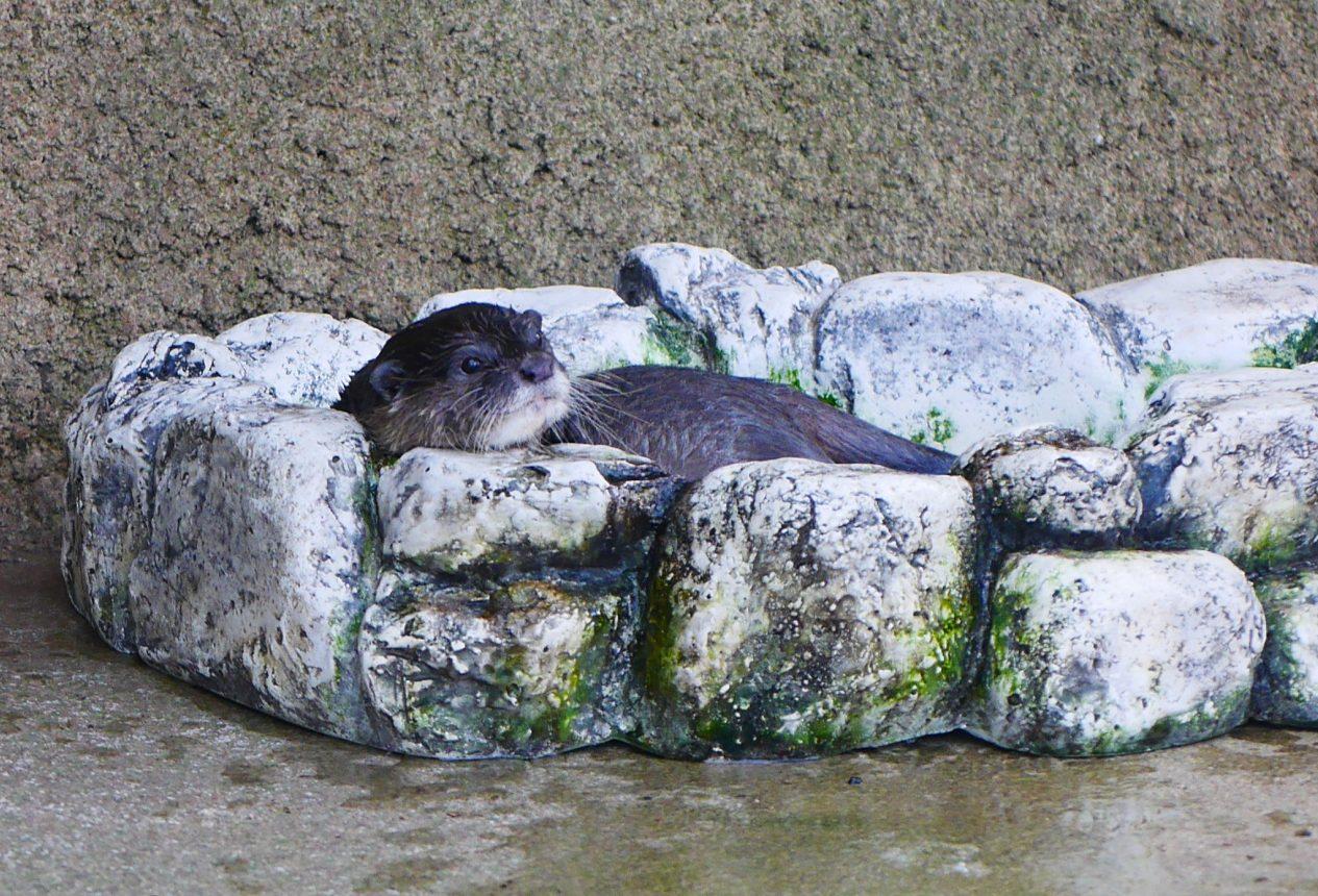 コツメカワウソ(Asian small-clawed otter)