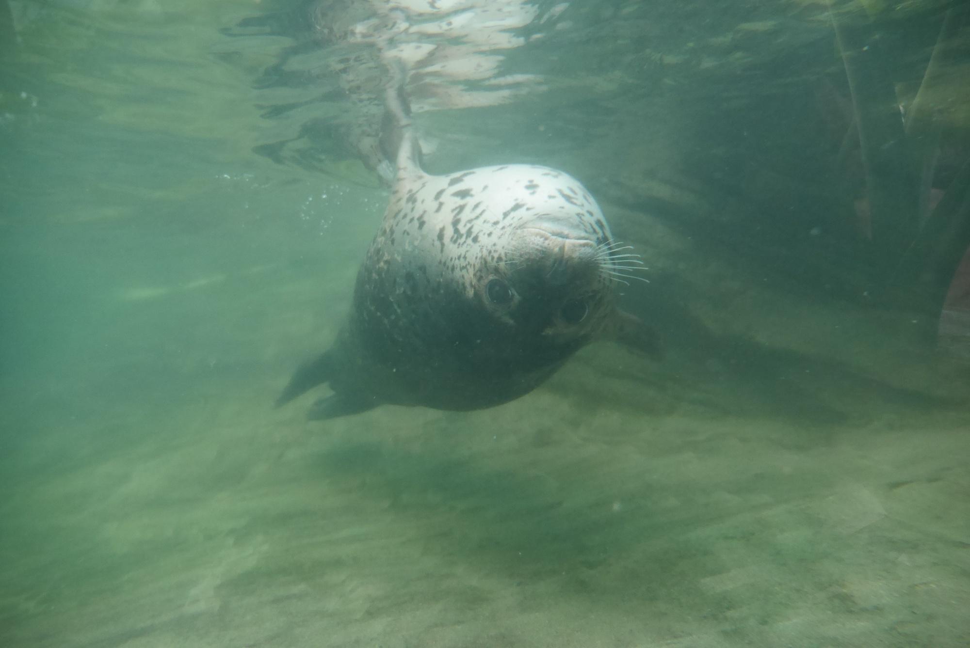 ゴマフアザラシ(Spotted Seal)