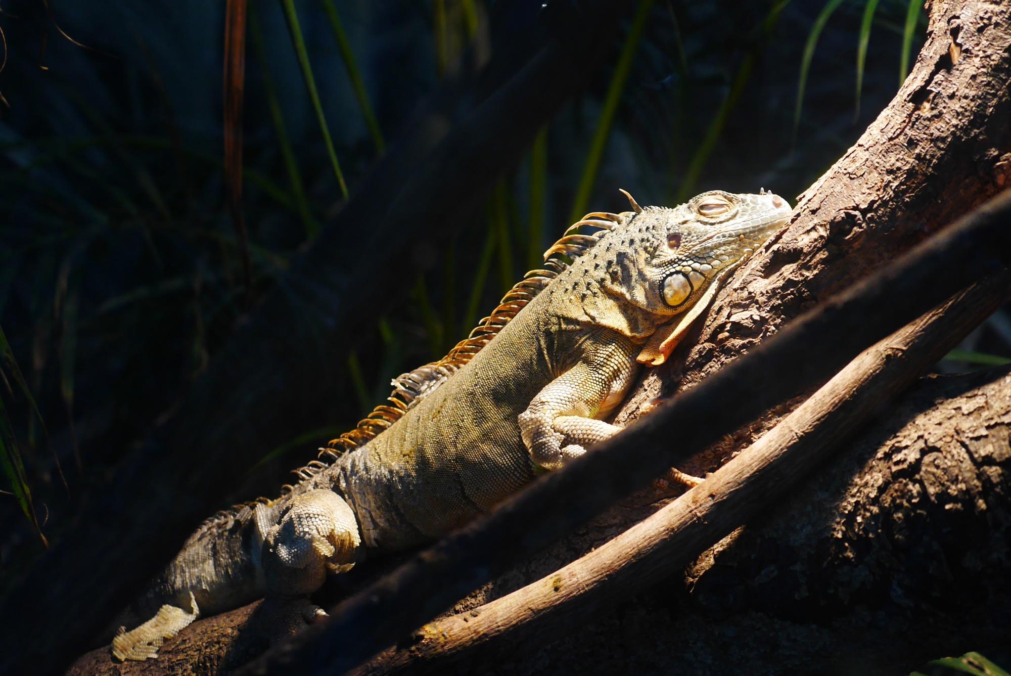 グリーンイグアナ(Green iguana)