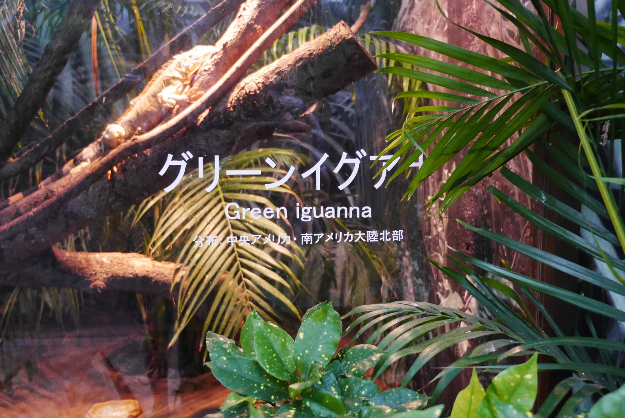 熱帯の湿地エリアのグリーンイグアナ