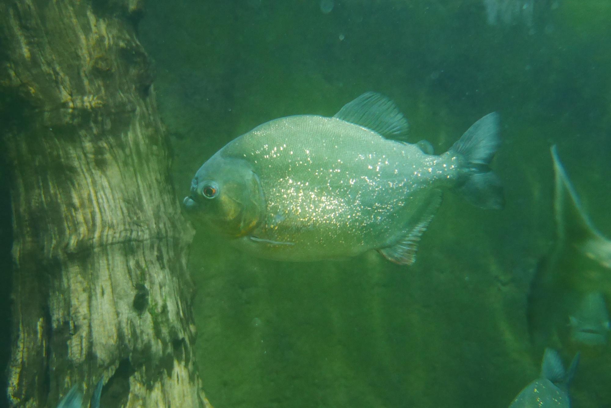 ピラニア・ナッテリー(Piranha)