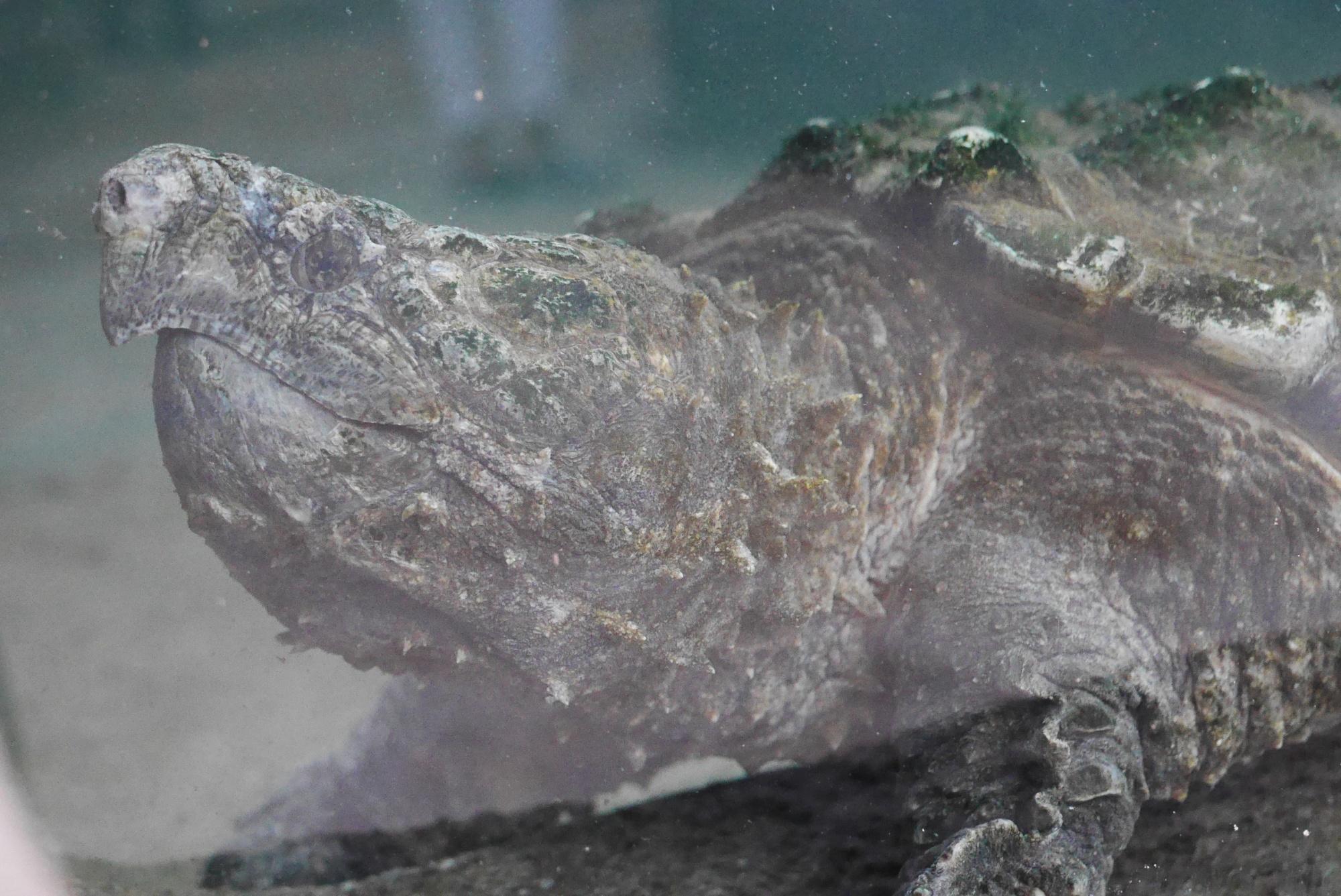 ワニガメ(Alligator snapping turtle)