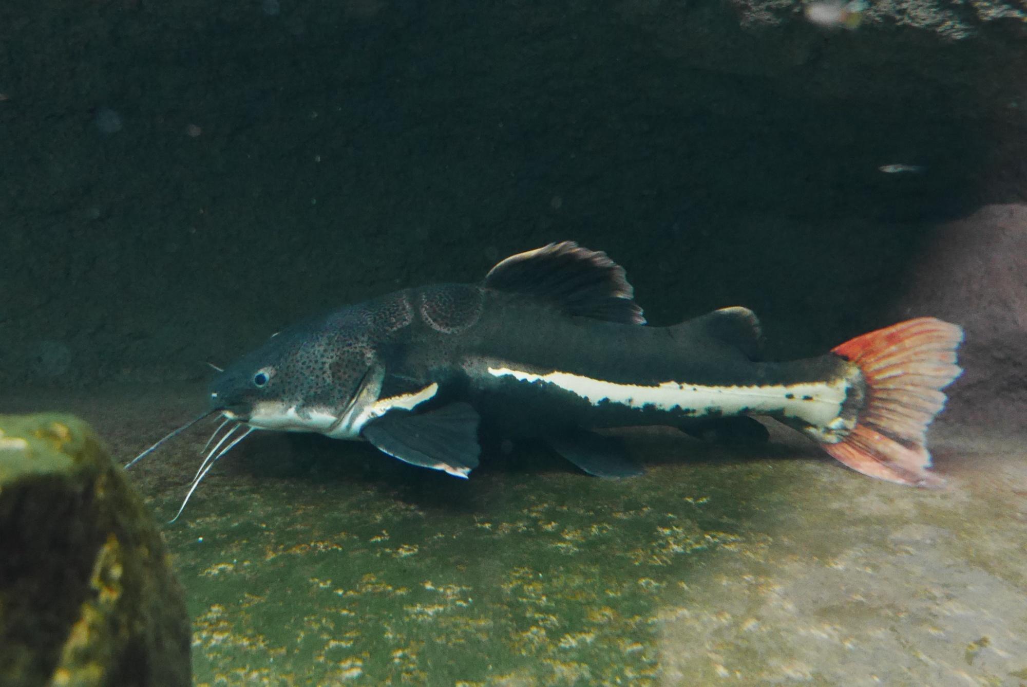 レッドテールキャット(redtail catfish)