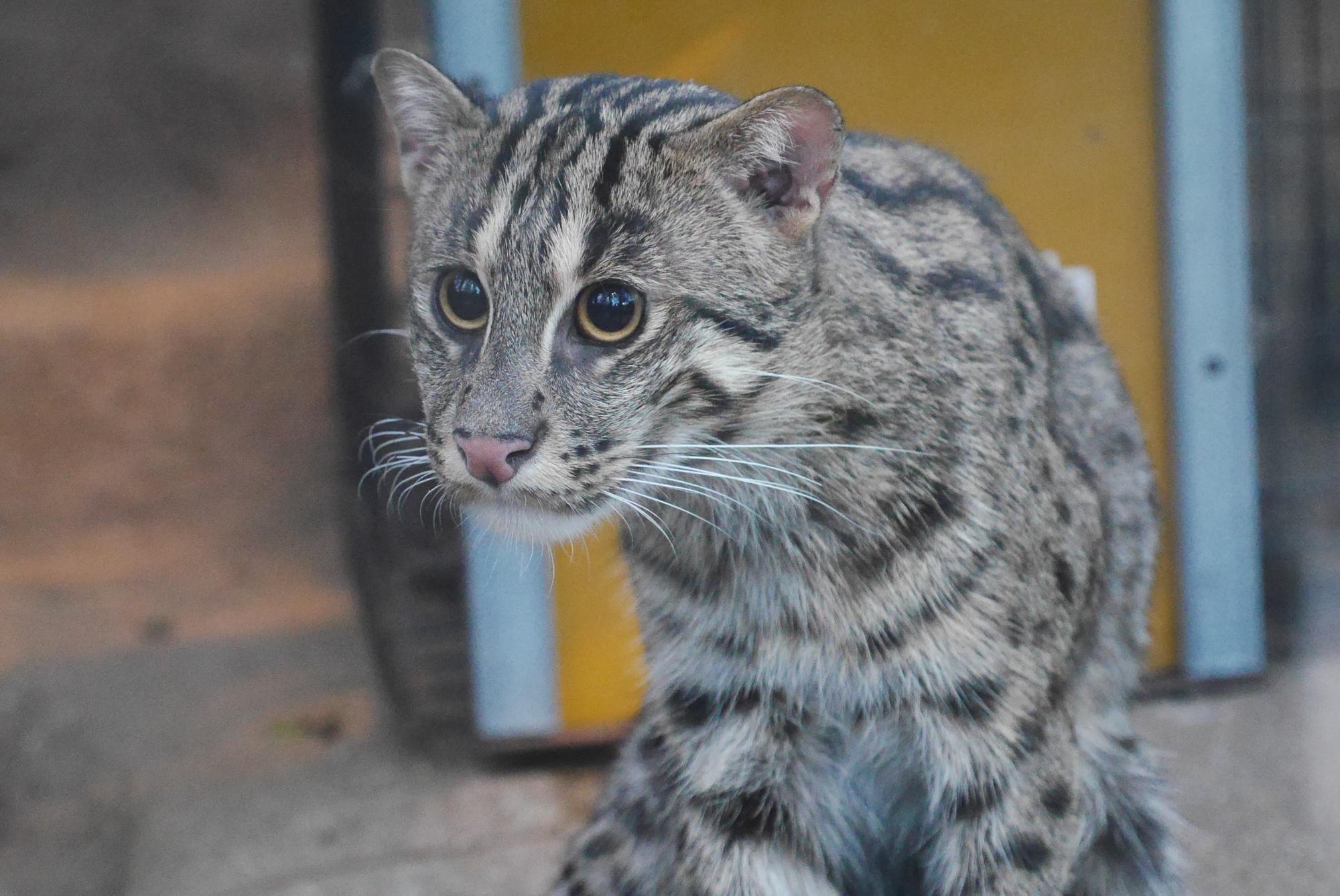 スナドリネコ(Fishing Cat)