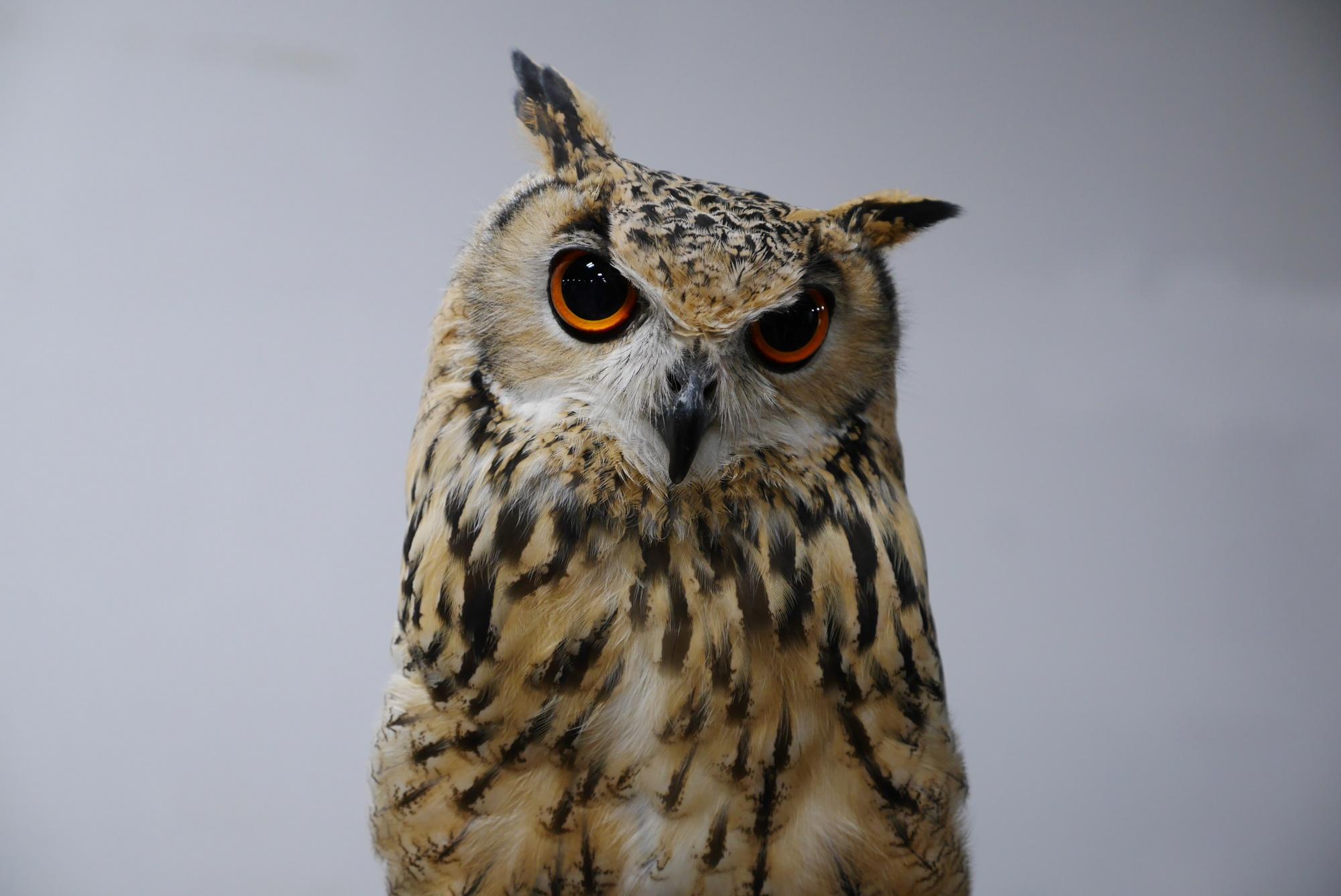 シベリアワシミミズク(Siberian Eagle Owl)